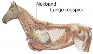 Lange rugspier-nekband